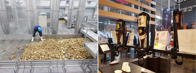 일본 기리시마주조 양조장에서 고구마를 선별하는 모습(왼쪽)과 기리시마주조의 고구마소주 비교 시음장. [사진 제공·명욱]
