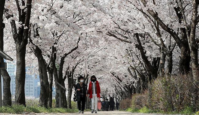 4월 3일 마스크를 착용한 시민들이 벚꽃이 활짝 핀 서울 양천구 안양천 벚꽃길을 산책하고 있다. [동아DB]