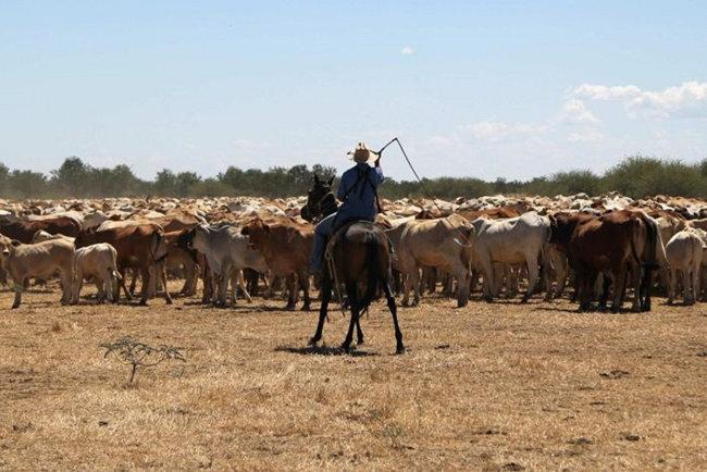 호주 목동이 말을 타고 소떼를 몰고 있다. [ABC.jpg]