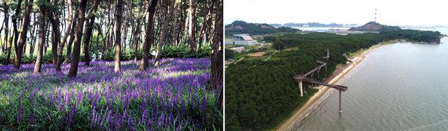 맥문동이 만개한 장항송림산림욕장(왼쪽). 장항송림산림욕장 15m 위로 펼쳐진 236m 길이의 장항스카이워크.