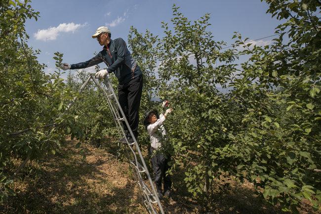 6월 15일 강원 양구군 푸른솔농원에서 농장주와 서울에서 온 근로자가 함께 사과나무 적과 작업을 하고 있다. [조영철 기자]