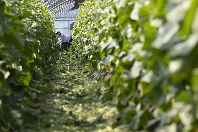 6월 15일 강원 양구군 오이농장 비닐하우스에서 서울에서 온 근로자들이 한창 오이를 수확하고 있다. [조영철 기자]