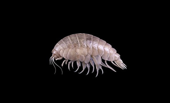 올해 태평양 심해에서 발견된 새로운 해양종, '유리슨스 플라스틱커스'. [강태진 제공]