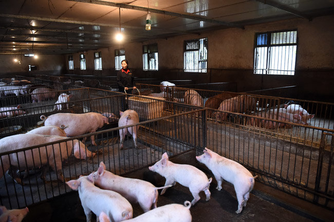 중국 돼지농장.  [신화=뉴시스]