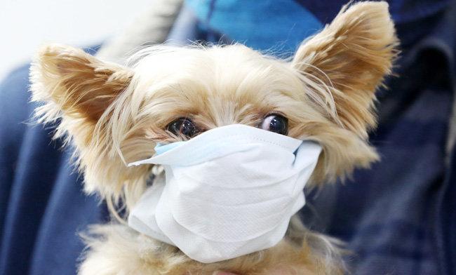 1월 28일 경기 평택항 국제여객터미널에서 강아지가 마스크를 쓰고 있다. [뉴스1]
