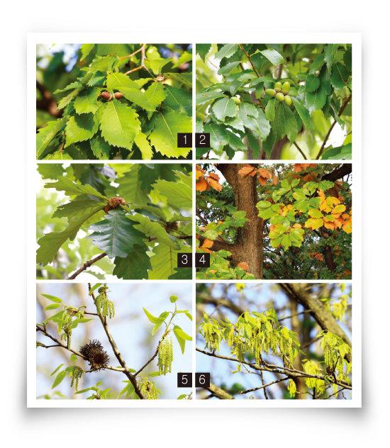 우리나라 산림의 40%를 차지하는 참나뭇과 참나무속에는 신갈나무, 졸참나무, 떡갈나무, 갈참나무, 굴참나무, 상수리나무(번호순)가 포함된다. [꽃가루 알레르기 도감]