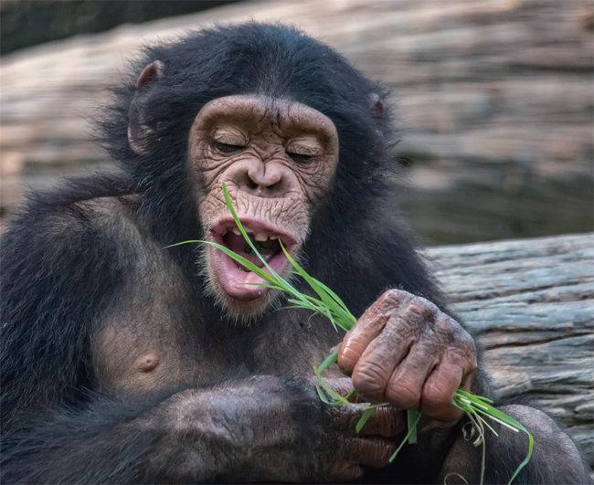 인간과 비슷한 침팬지는 하루 12시간 이상 뭔가를 씹고 있다. [GETTYIMAGES]