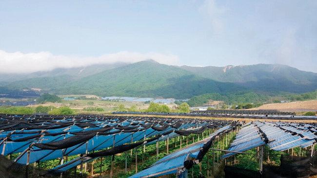 '삼농인발효홍삼'의 원료는 전국의 좋은 인삼 밭에서 최적의 시기에 수확한다.