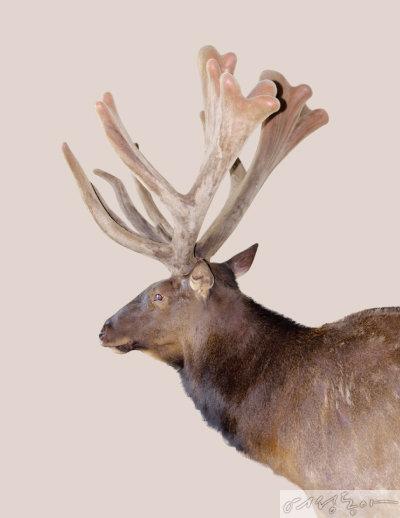 국내 농가에서 특별 관리해 키운 사슴으로, 뿔의 위쪽이 알맞게 자라 상품 가치가 높다.