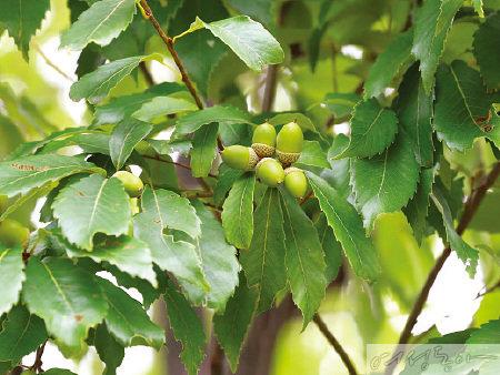 졸참나무 열매