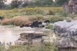 사파리 구역서 곰 무리에 공격당해 사망한 사육사