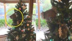 크리스마스트리에 반해 가정집 몰래 방문한 야생 코알라