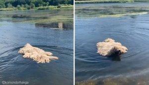 호수 위를 떠다니는 대걸레의 정체… 알고보니 헤엄치는 멍멍이