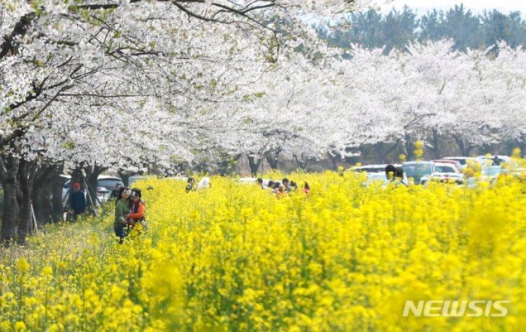 제주, 들불축제·왕벚꽃축제·유채꽃걷기대회 취소