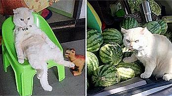 """""""맛있는 수박이 왔다옹!"""" <br>간식값 벌기 위해 직접 나선 판매왕 고양이"""