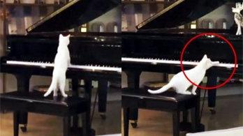 가수 집사 몰래 피아노 연주하는 고양이 포착