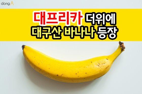 [카드뉴스] '대프리카' 더위에 대구산 바나나 등장